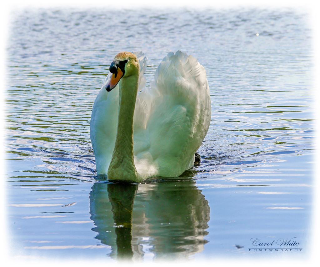 Ruffling Feathers In The Breeze by carolmw