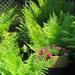 My Little Fern Garden