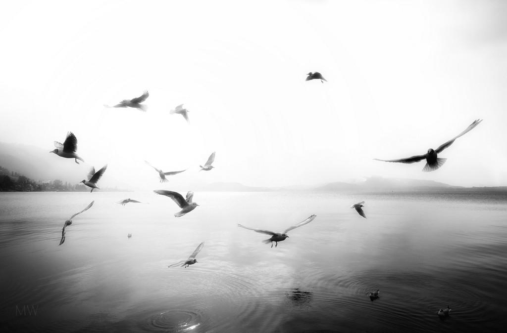 2018-05-17 black headed gulls  by mona65