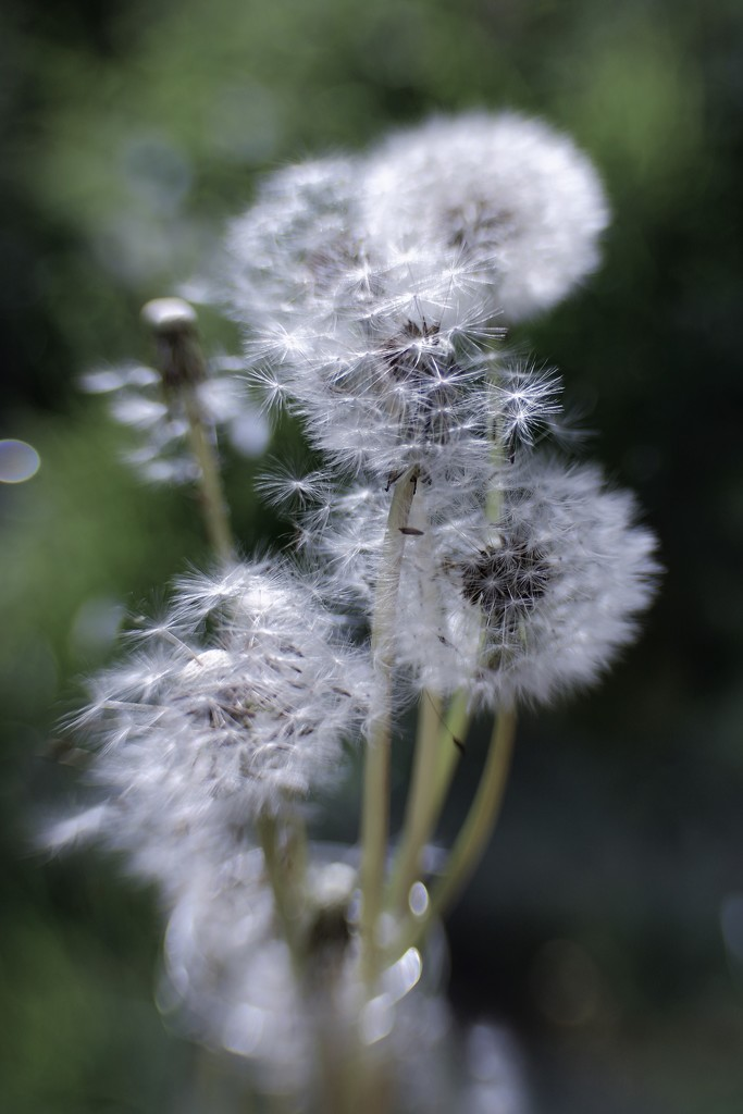 Still With The Dandelions by motherjane