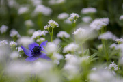 17th May 2018 - Blue Anemone