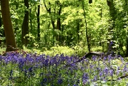 17th May 2018 - Bluebell Wood