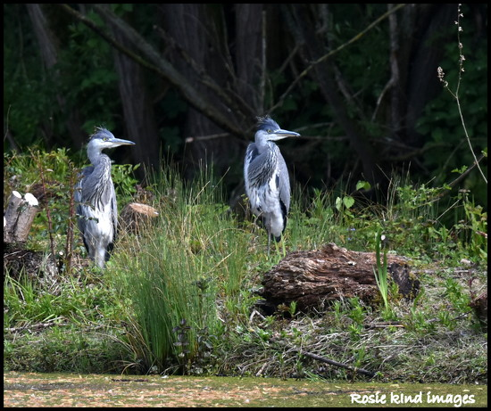 Meet the young herons by rosiekind