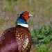 Pheasant  by ilovelenses