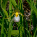 lady slipper orchid landscape