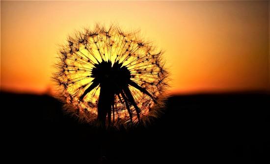 Sunset Dandy by carole_sandford
