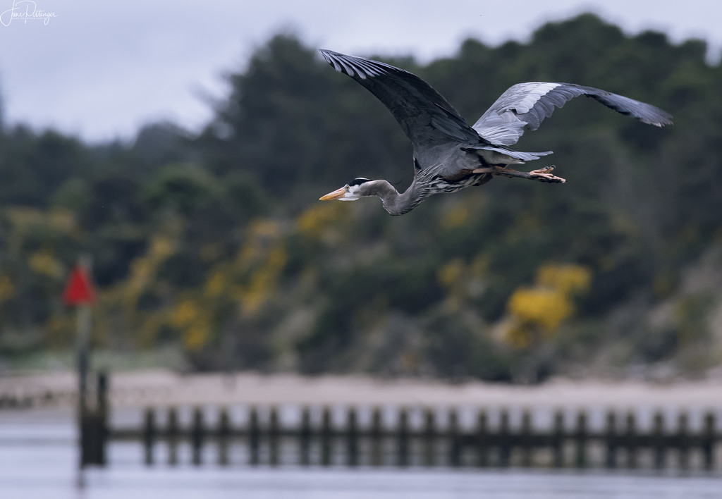 Blue Heron Fly Away  by jgpittenger