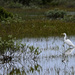 White Egret in the Marsh