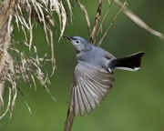 17th May 2018 - LHG_4698 Blue-Gray Gnatcatcher