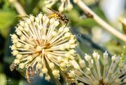 18th May 2018 - Wasps