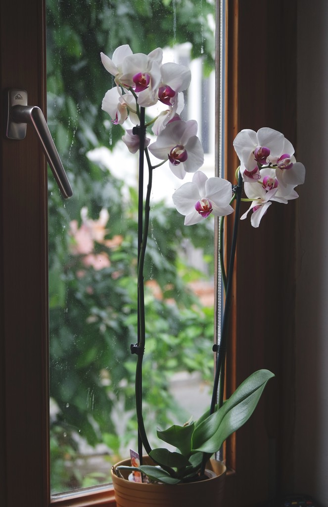 Orchid by toinette