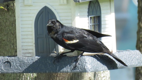 Red wing blackbird. by maggie2
