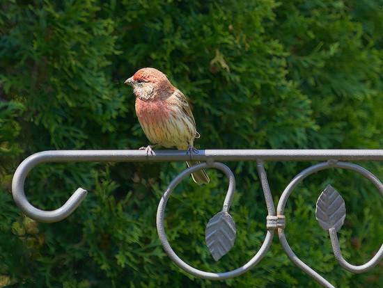 House Finch  by gardencat
