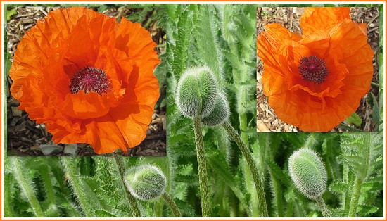 Orange poppies and buds. by grace55