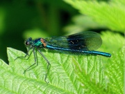 18th May 2018 - Banded Demoiselle