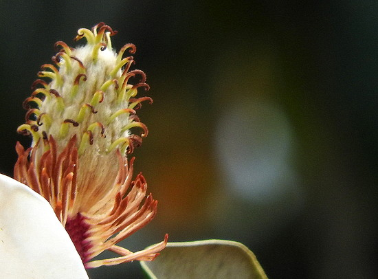 Macro Magnolia by homeschoolmom