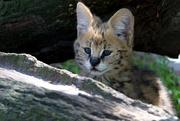 18th May 2018 - Serval Kitten