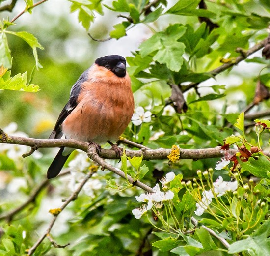 Another bullfinch by pamknowler