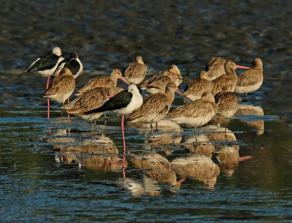 Resting birds - bartailed godwits and pied stilts by maureenpp