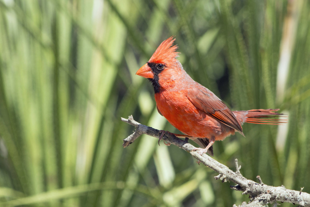 Saturday Morning Cardinal by gaylewood