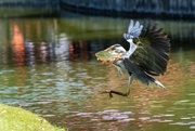 19th May 2018 - Harry Herons's catch of the Day!