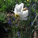 A love the white flower among the Pearl Hyacinths