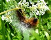 19th May 2018 - Garden Tiger Moth caterpillar