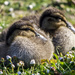 Two Little Ducklings by tonygig