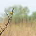 Goldfinch Landscape
