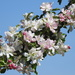 Apple Blossom and Blue Sky