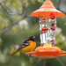 The beautiful Oriole!