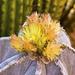 Bishop Hat cactus