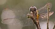 19th May 2018 - Dragonfly Up Close!