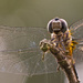 Dragonfly Up Close!