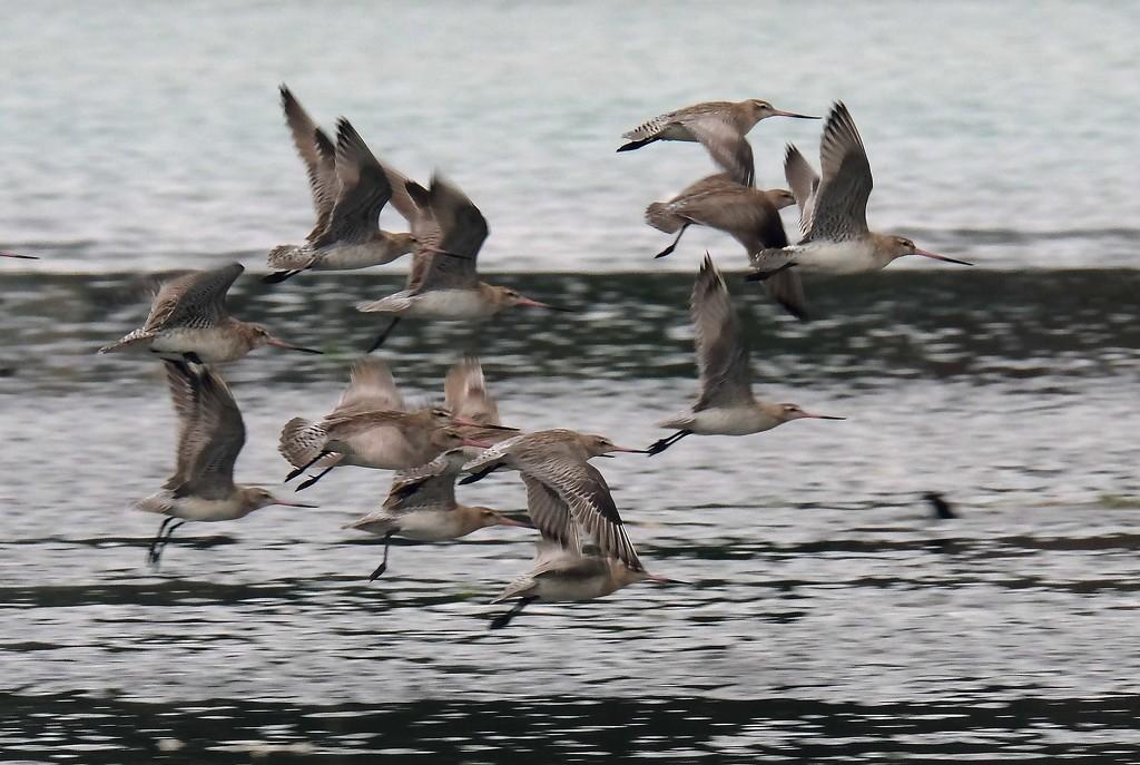 A flight of godwits by maureenpp