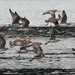 A flight of godwits