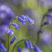 Surprise bluebells