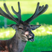 Red Deer in Velvet 3