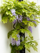 20th May 2018 - Wisteria!