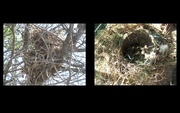 20th May 2018 - Two nests