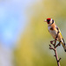 Goldfinch  by padlock