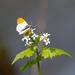 Orange tip (male)