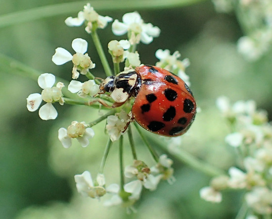 Asian Lady Beetle by cjwhite