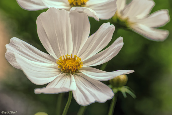Cosmos by lstasel