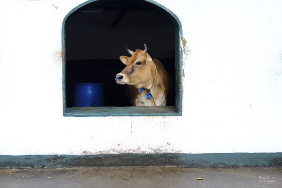 Holy Cow by dkbarnett