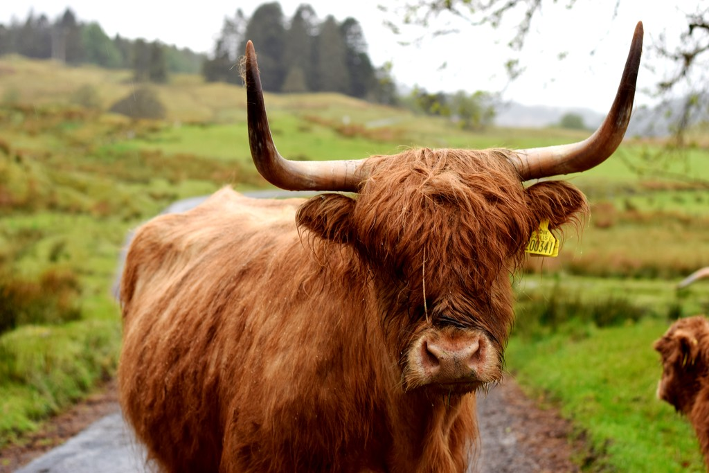 wet cow by christophercox