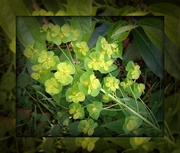 22nd May 2018 - Euphorbia