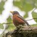 american robin sings