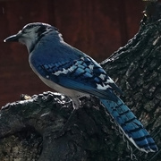 21st May 2018 - Late in the Day Bluejay
