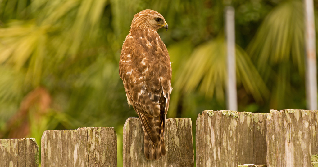 Red Shouldered Hawk Looking for a Snack! by rickster549